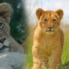 product - Walking with Lions in Victoria Falls - (ThisAndThat Safaris)